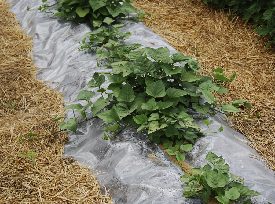 Сладкий картофель: как называется, полезные свойства, где растет, вкус клубней