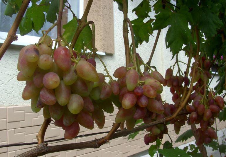 Виноград дубовский розовый описание сорта фото отзывы видео уход