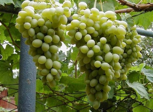Виноград тип плода