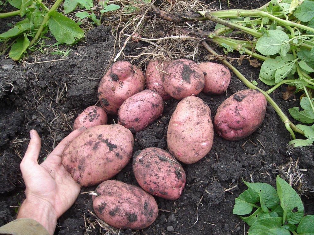 Картофель Родриго характеристика и описание сорта преимущества и недостатки