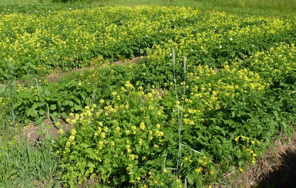 Сидераты после картофеля что посадить осенью