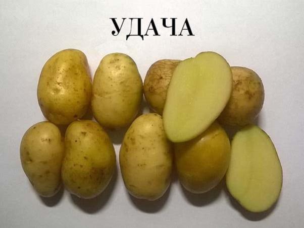 Картофель желтый ранний
