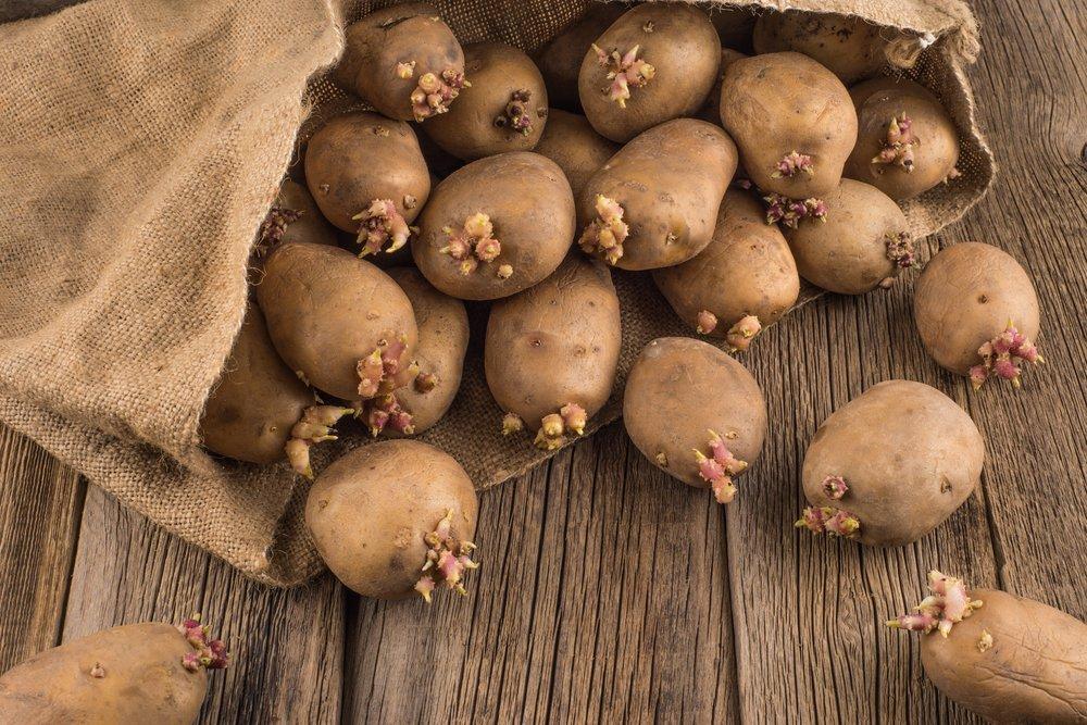 Какие сорта картофеля выращивают в ленинградской области?