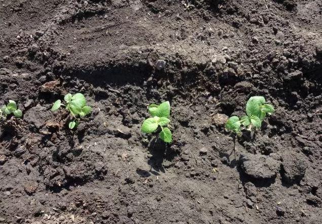 Семена картофеля: как выглядят, когда сажать на рассаду, сроки, сколько всходят