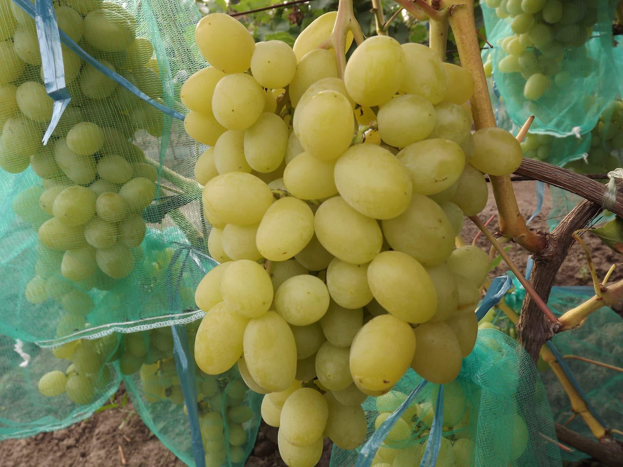 Виноград Ландыш: описание и характеристика сорта посадка и уход
