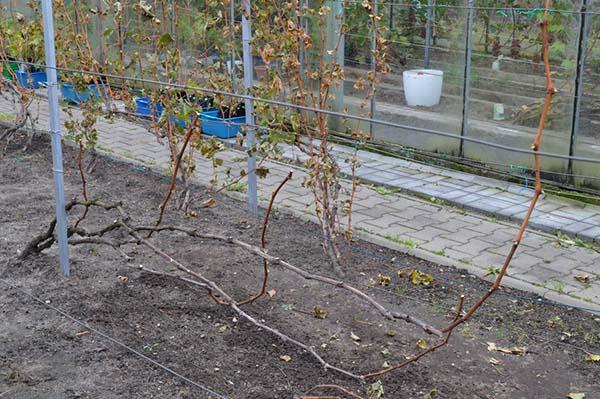 Красная лоза винограда