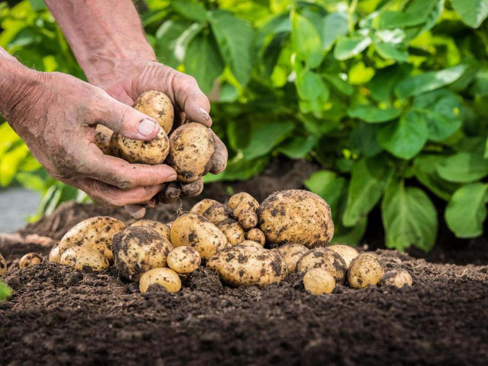 Характеристика вредителей картофеля и меры борьбы с ними