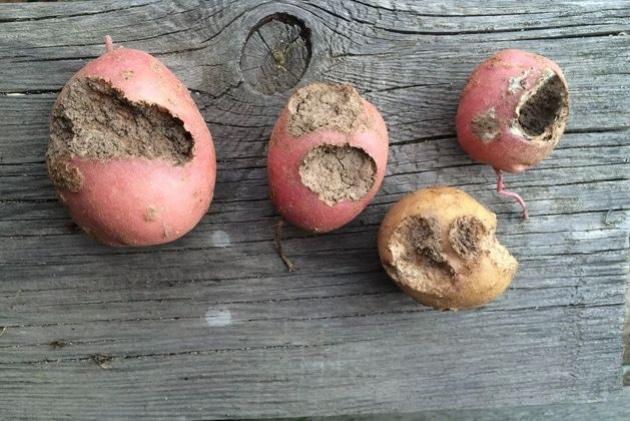 Посадка картофеля под солому и сено: выращивание пошагово, технология    Посадка картофеля в короба гряды под сено