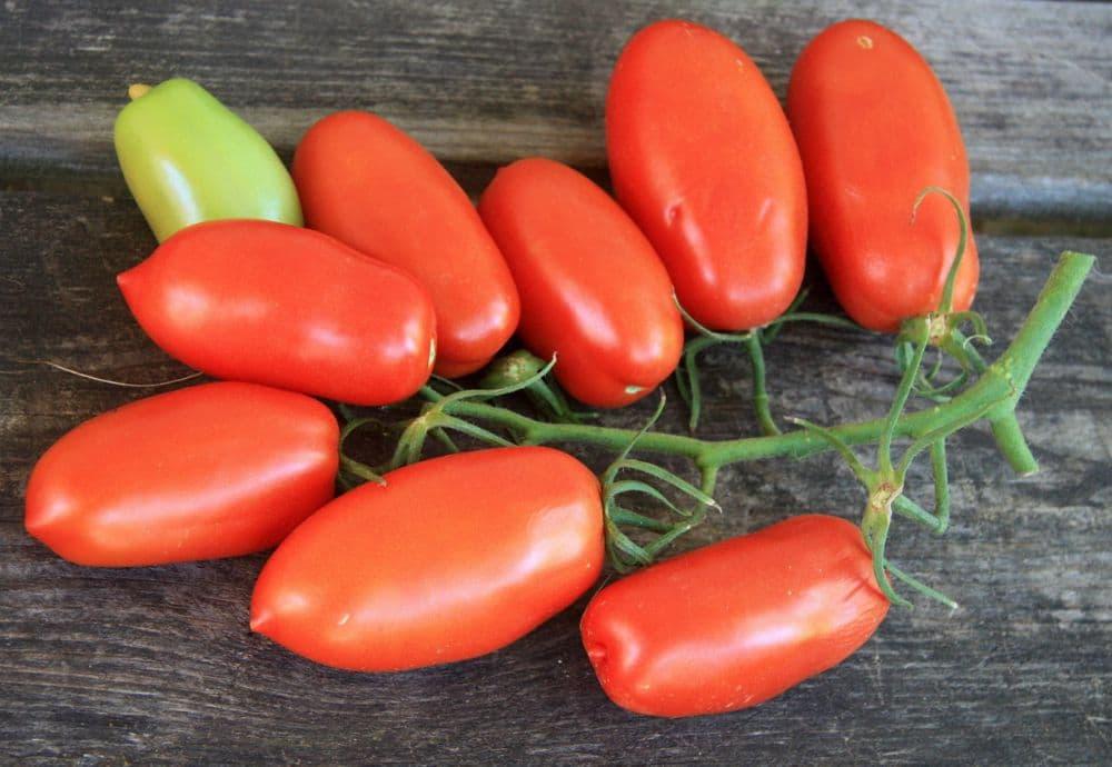 Царское искушение томат: особенности, плюсы и минусы, болезни и вредители