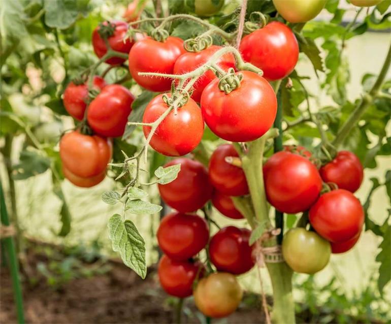 Описание и урожайность сорта томата Любаша