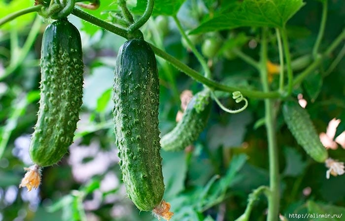 Секреты выращивания огурцов на подоконнике
