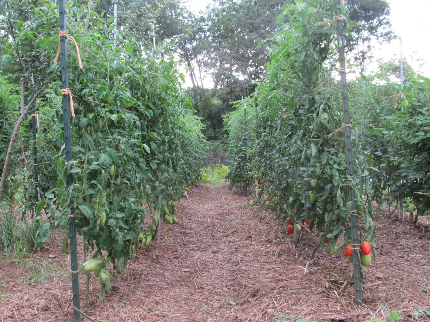 Что такое индетерминантный сорт томатов