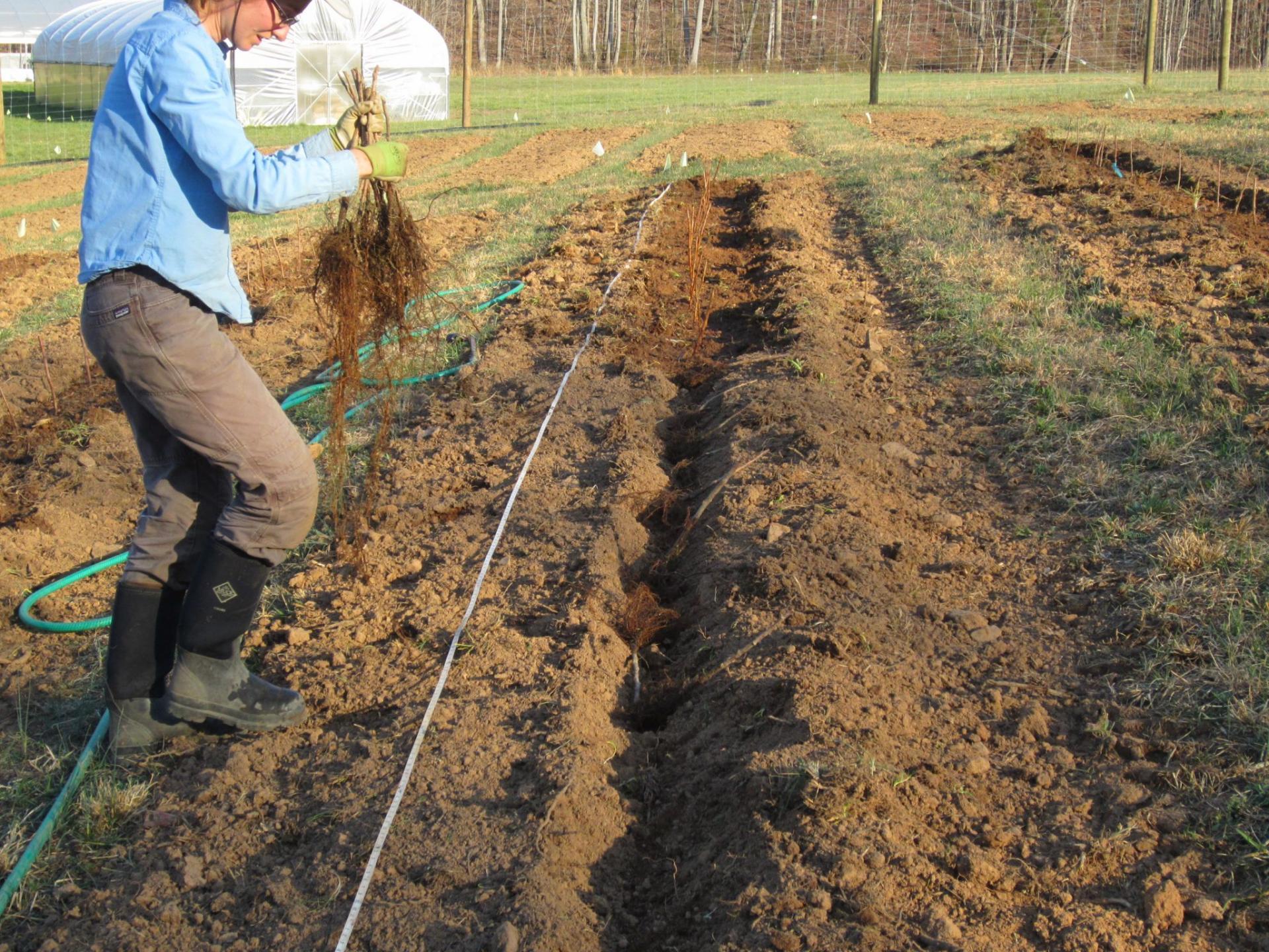 Малина Таганка: описание и характеристики, выращивание, урожайность