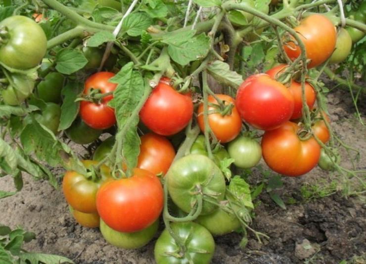Сорта томатов для теплицы устойчивые к фитофторе (фитофторозу)