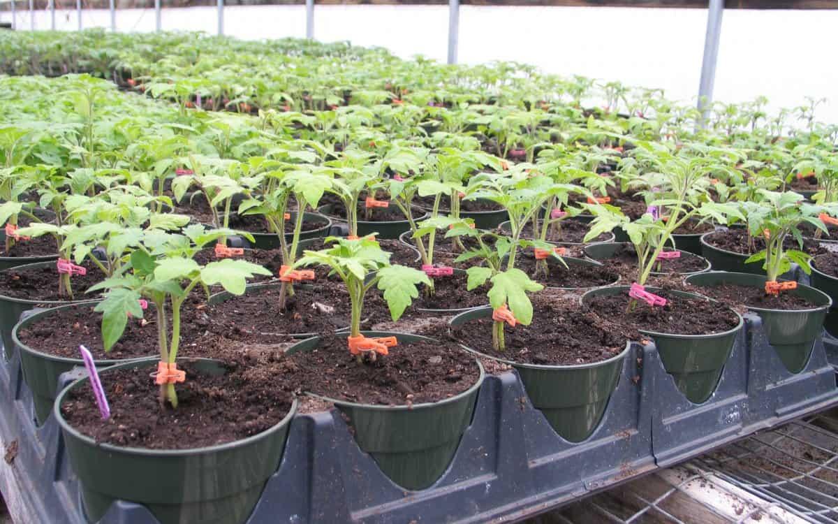 Самые урожайные низкорослые и непасынкующиеся сорта помидор