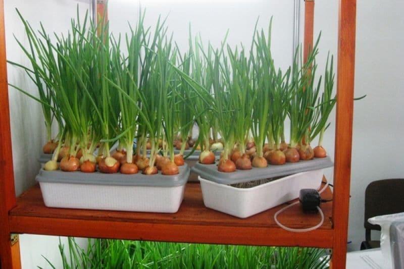 Лук на зелень: как вырастить лук на перо в домашних условиях зимой или летом