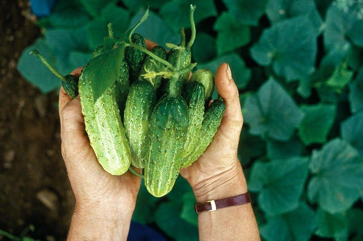 Как собрать семена огурцов в домашних условиях