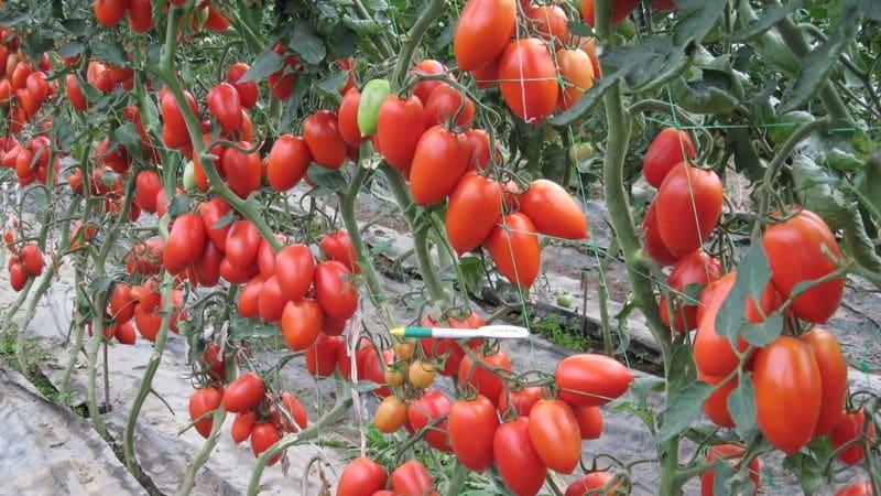 Сливки помидоры: особенности сорта, советы по выращиванию, урожайность