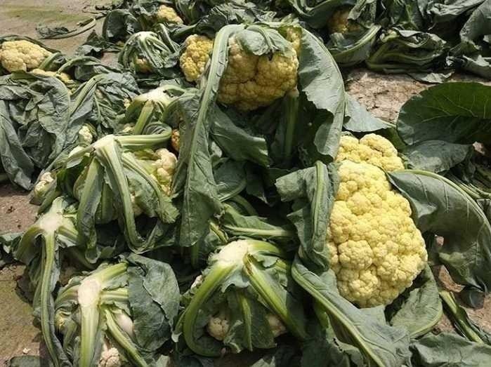 Цветная капуста когда собирать урожай