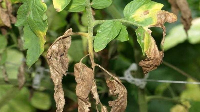 Томат Корнабель: характеристика и описание сорта, урожайность отзывы фото
