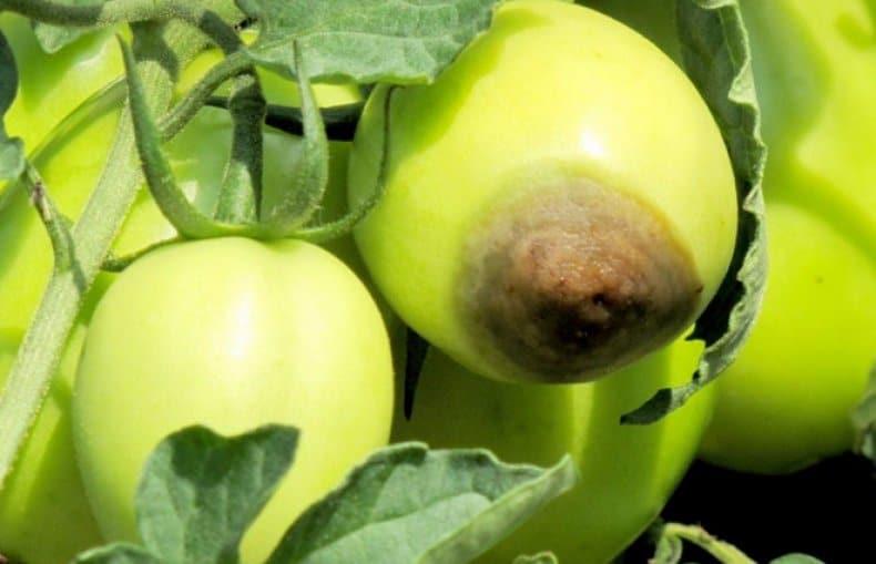 Томат Пушистик: виды, плюсы и минусы, правильное выращивание и уход