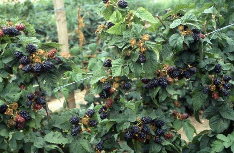 Посадка ежевики осенью – когда и как посадить в разных регионах: инструкции