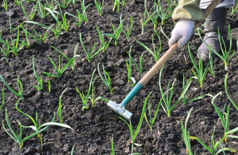 Сорта лука для зимнего посева