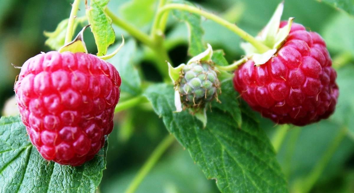 Как размножить малину черенками отводками побегами и другими способами