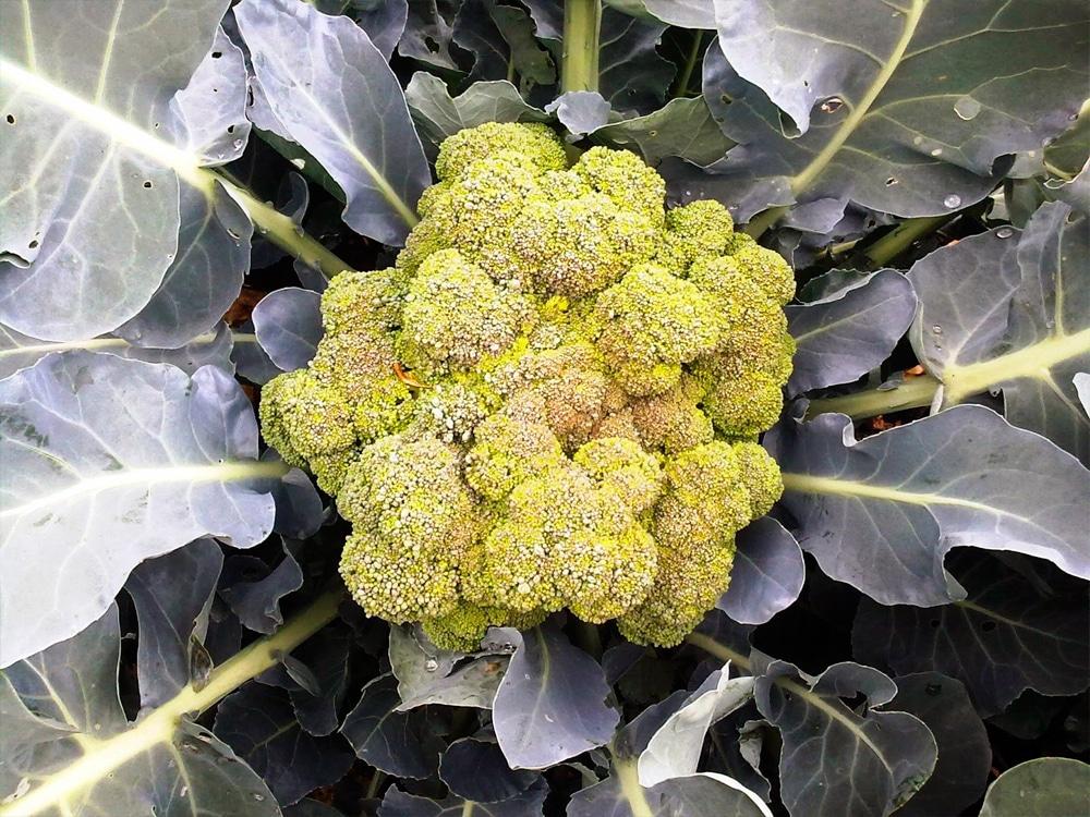 Брокколи сорта: свойства, многообразие видов, выращивание и уход, уборка