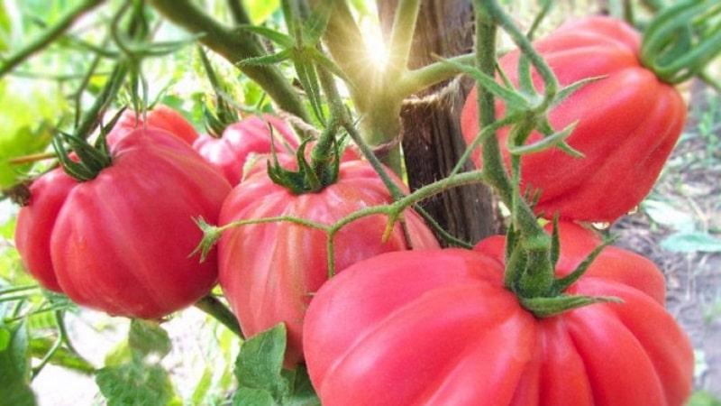Томат инжир розовый характеристика и описание сорта урожайность с фото