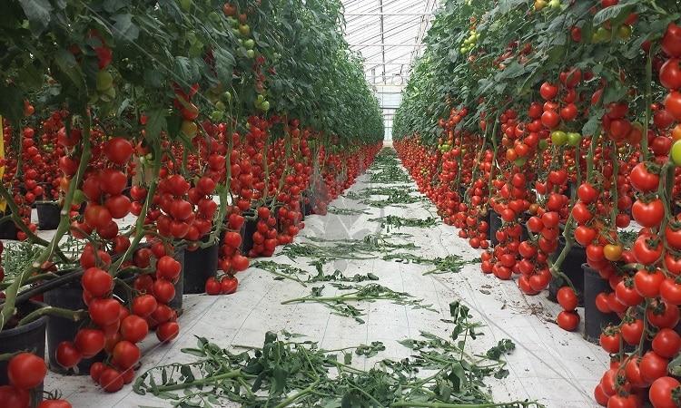 Зимний посев томатов
