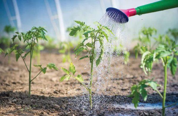 Оптимальный микроклимат для высокой урожайности: температура для томатов