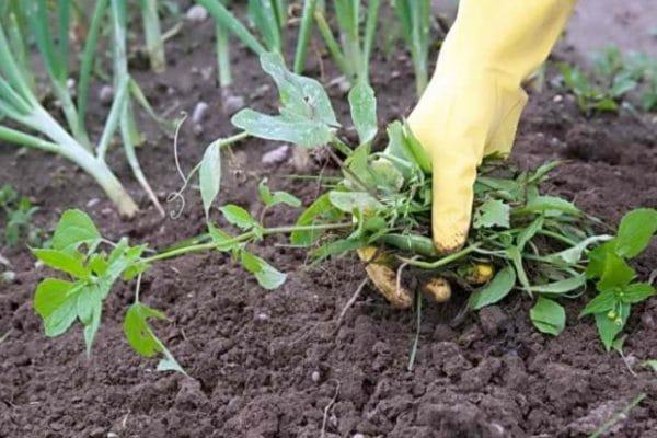 Оптимальный микроклимат для томатов