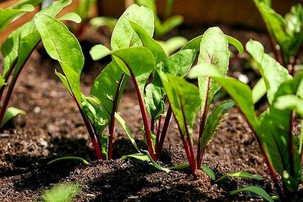 Что можно посадить после помидор на следующий год
