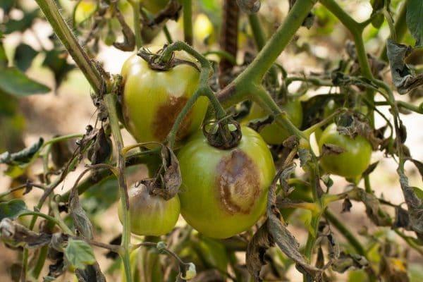Оптимальная температура для томатов