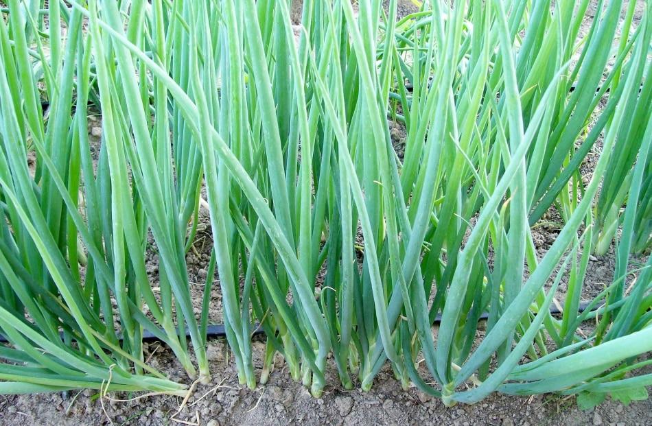 Как садить лук батун семенами