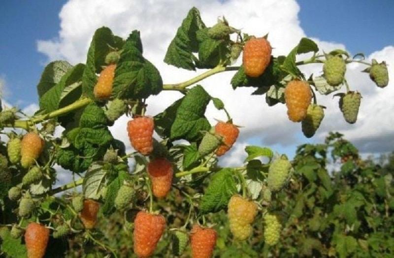 Малина оранжевое чудо описание сорта