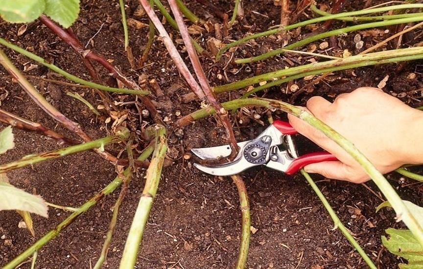 Черная малина Кумберленд (фото) - обрезка и уход