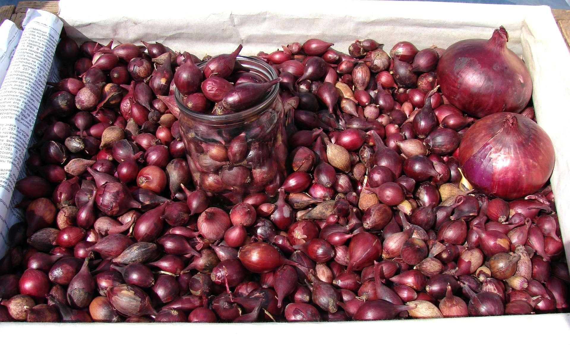 Как сажать лук севок под зиму? Преимущества посева под зиму