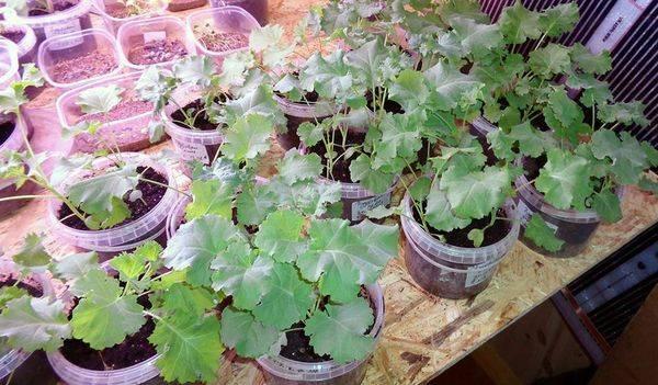 Капуста Кейл: лучшие сорта, плюсы и минусы, выращивание и уборка, хранение