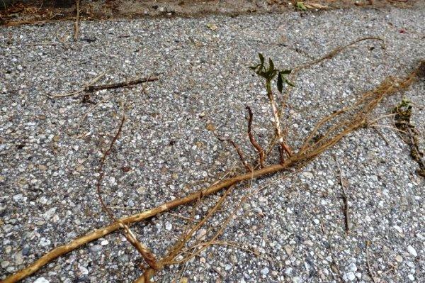 Как размножить черенками садовую ежевику