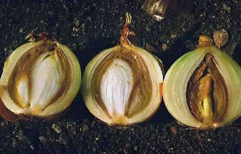 Почему на грядке гниет лук что делать как спасти урожай
