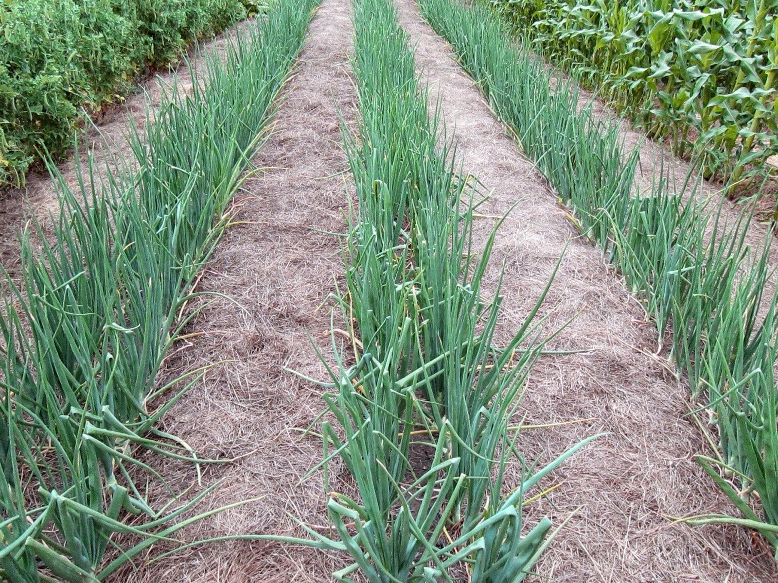 Как вырастить лук-севок из семян Чернушки — сорта