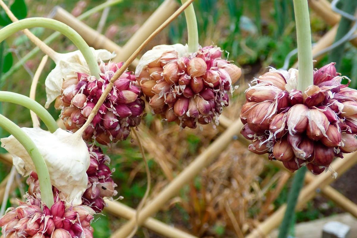 Яровой и озимый чеснок: как отличить сорта, особенности посадки, ухода и хранения