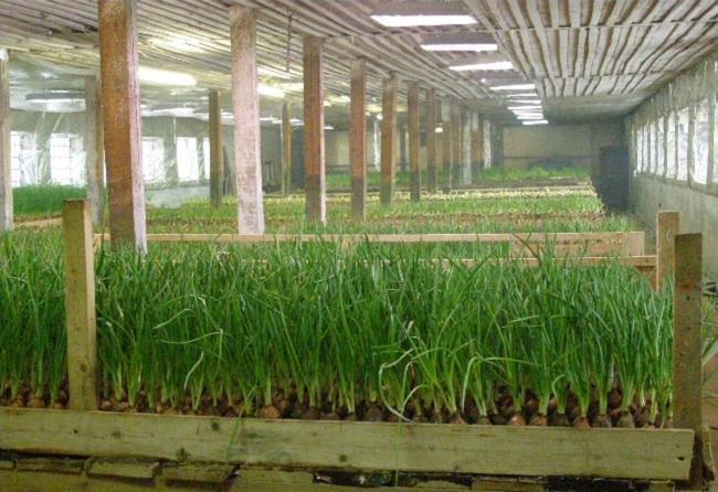 Выращивание лука на перо в теплице зимой видео