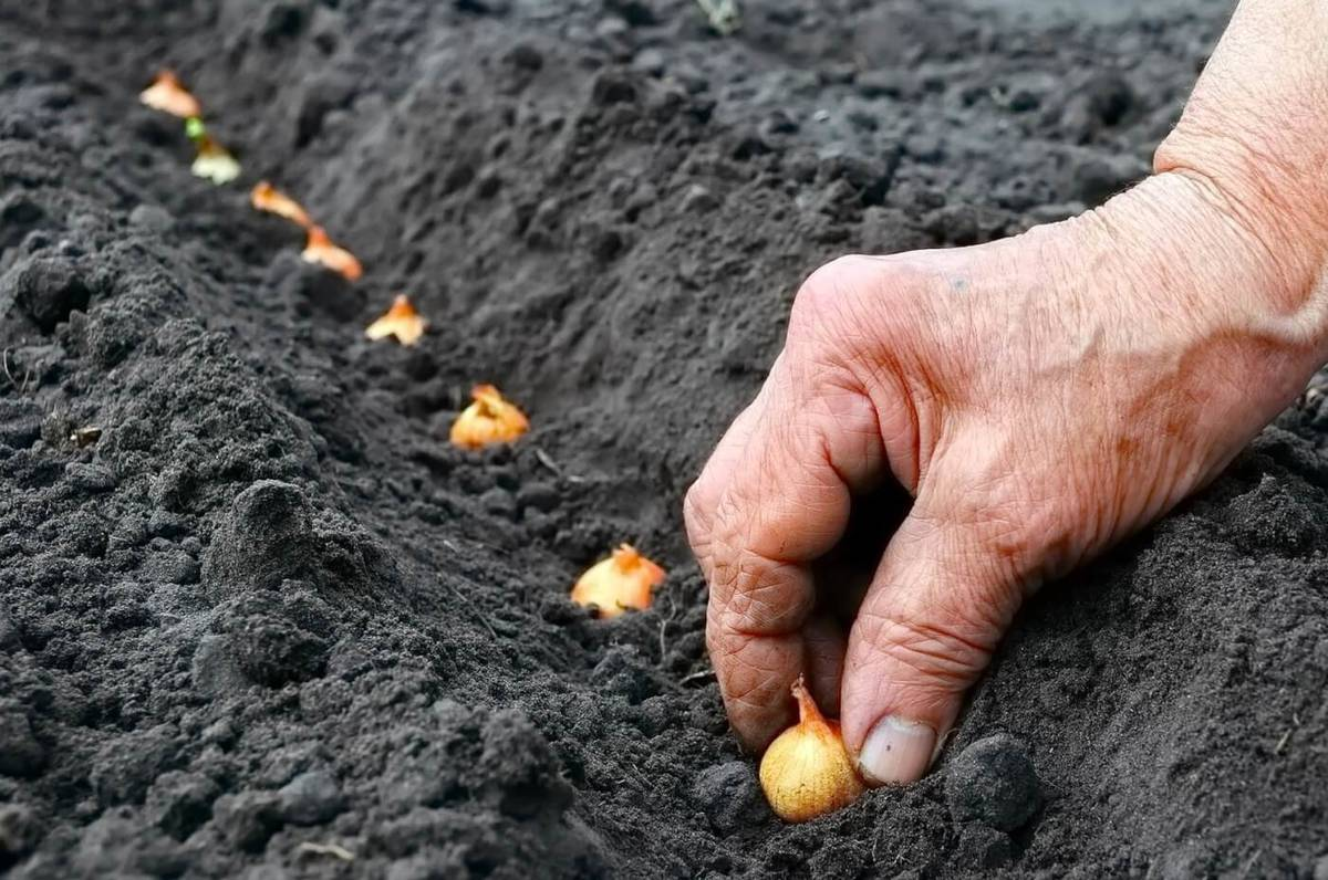 Правильная посадка лука севка в апреле весной в открытый грунт: основные шаги при высадке, хитрости урожайной посадки