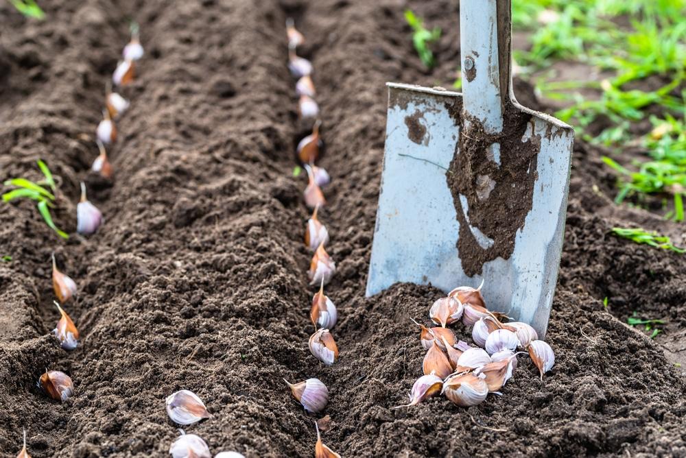 Выращивание крупного озимого чеснока. Мульчирование чеснока осенью.