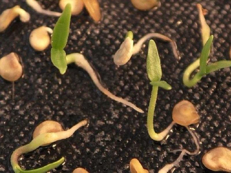 Горький перец (Огонек)- посев семян и уход в домашних условиях
